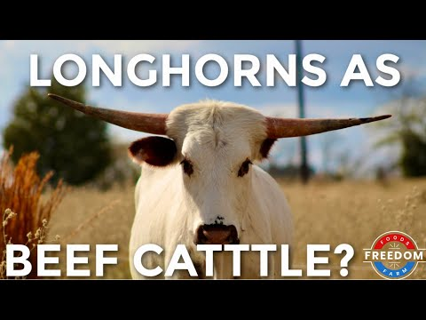 TEXAS LONGHORNS As Beef Cattle? The Pros Vs. Cons