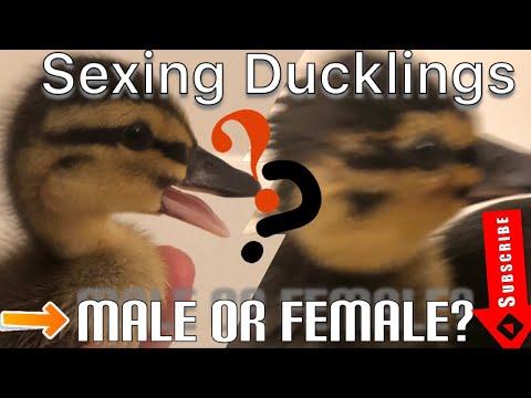 VLOG 6 | VENT SEXING DUCKLINGS | #sexingducks #familyfarm #howto