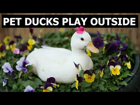 Call Ducks - Our Pet Call Ducks Play & See First Rain
