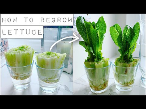 How To Regrow Lettuce With Just Water!