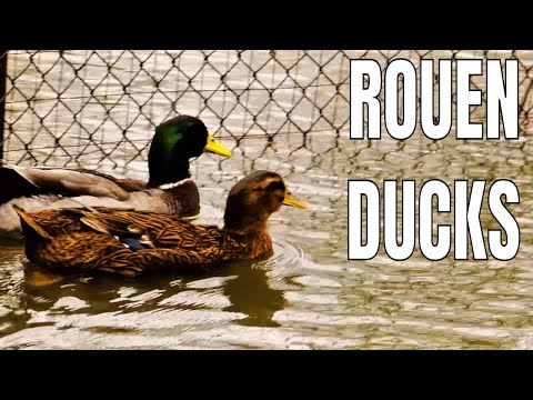 Rouen Ducks Explained
