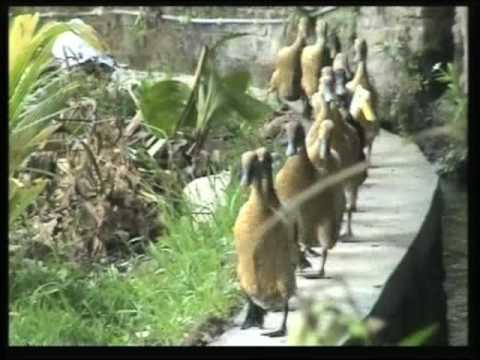 BALI DUCKS they have this funny walk and are always following the leader by Hans & Fifi