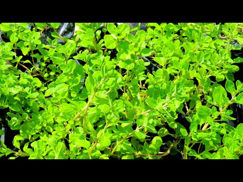 How to grow Sweet Marjoram from Seed