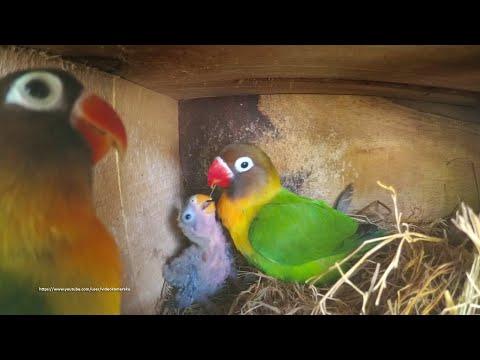 Lovebird Chicks (June-27-2020) - From Green Black Masked Pair