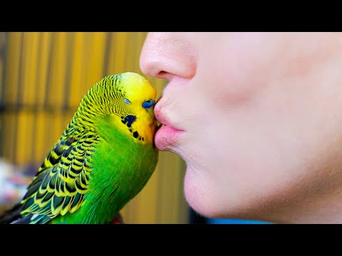 Budgie Talks To Owner To Stop Feeling Lonely   Pets: Wild At Heart   BBC Earth
