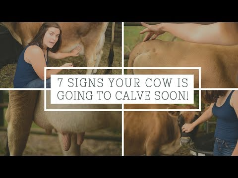 7 Signs Your Cow is Going to Calve Soon