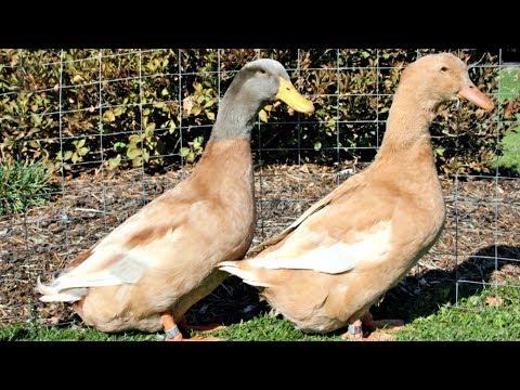 Buff Orpington Ducks   Docile Adaptable Foragers