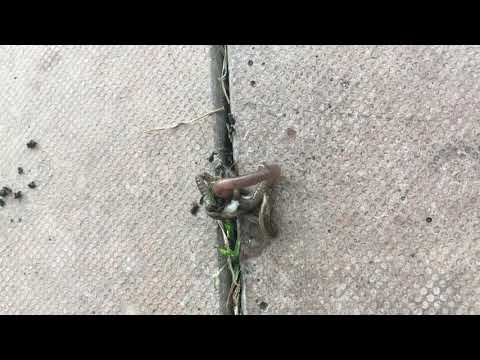 A Hammerhead worm killing/eating an Earthworm!!