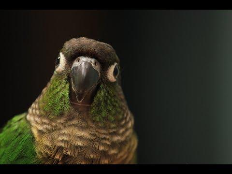 A Green Cheek Conure Medley