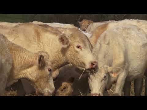 Raising Charolais Cattle