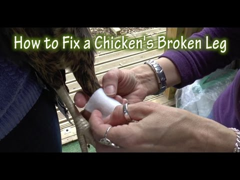 Treating a Chicken's Broken Leg