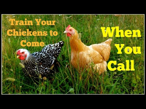 Train Your Chickens With A Call~