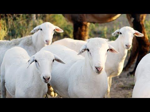 Royal White Hair Sheep | High Performance Parasite Resistant
