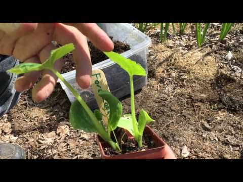 How To Transplant Zucchini Seedlings