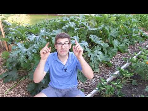 Prune Zucchini to Increase Production - Prevent Powdery Mildew & Prevent Blossom End Rot
