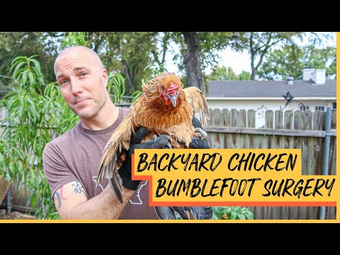 Why is my chicken limping? | Treating Bumblefoot in Chickens | Backyard Chicken Surgery
