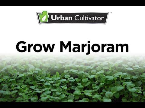 How To Grow Marjoram Indoors   Urban Cultivator