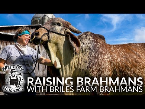 Raising Brahman Cattle with Briles Farm Brahmans (Meet My Neighbor)