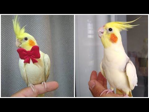 Cockatiel Best Singing and Talking Companion in the World / Cockatiel Singing training video /2020