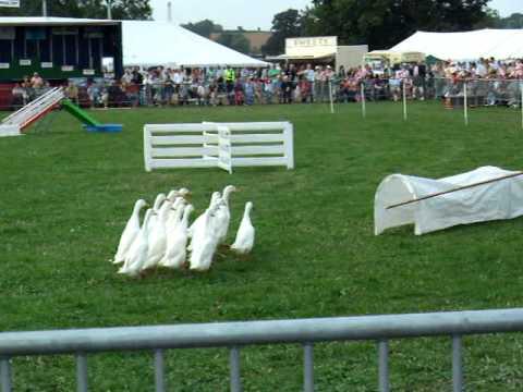 Moreton-in-Marsh Show Dog and Ducks Herding