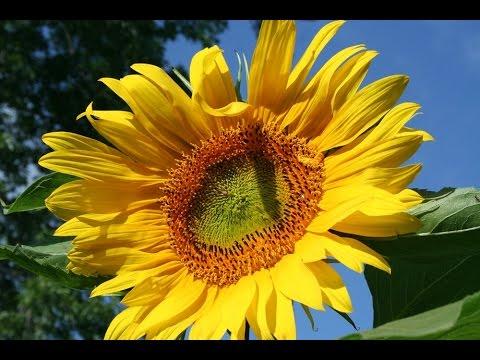 Mammoth Russian Sunflowers. Watch them grow through the summer.