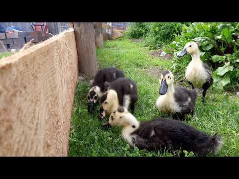 Slug Patrol- Magpie ducks 1st free-range in the garden!