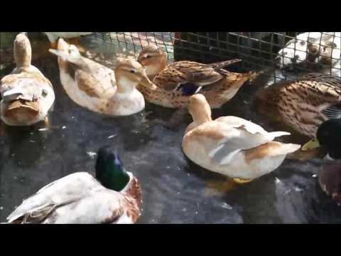 Australian Spotted Bantam Ducks