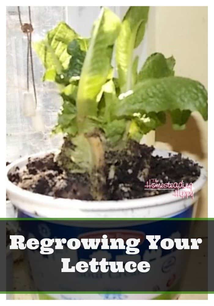 regrowing your lettuce