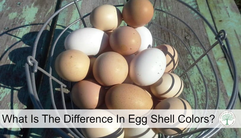 Do you know what the different egg shell colors mean as far as nutrition? Learn more here! The Homesteading Hippy