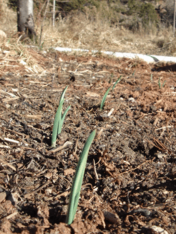 now is the time for fall planting of garlic for your spring harvest!