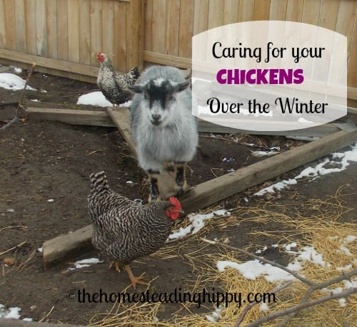 caring for your chickens over the winter