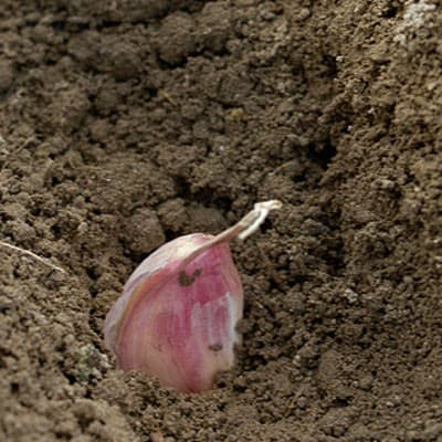 planting garlic in the fall is easy to do, and will provide you with fresh garlic in the spring