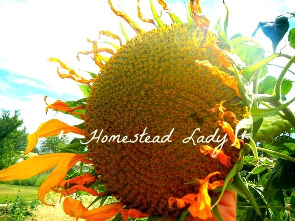 Why Grow Russian Mammoth Sundflowers by Homestead Lady fall colors