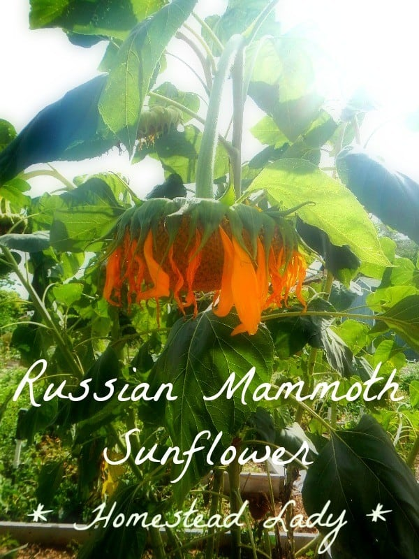 Why grow Russian Mammoth Sunflowers by Homestead Lady