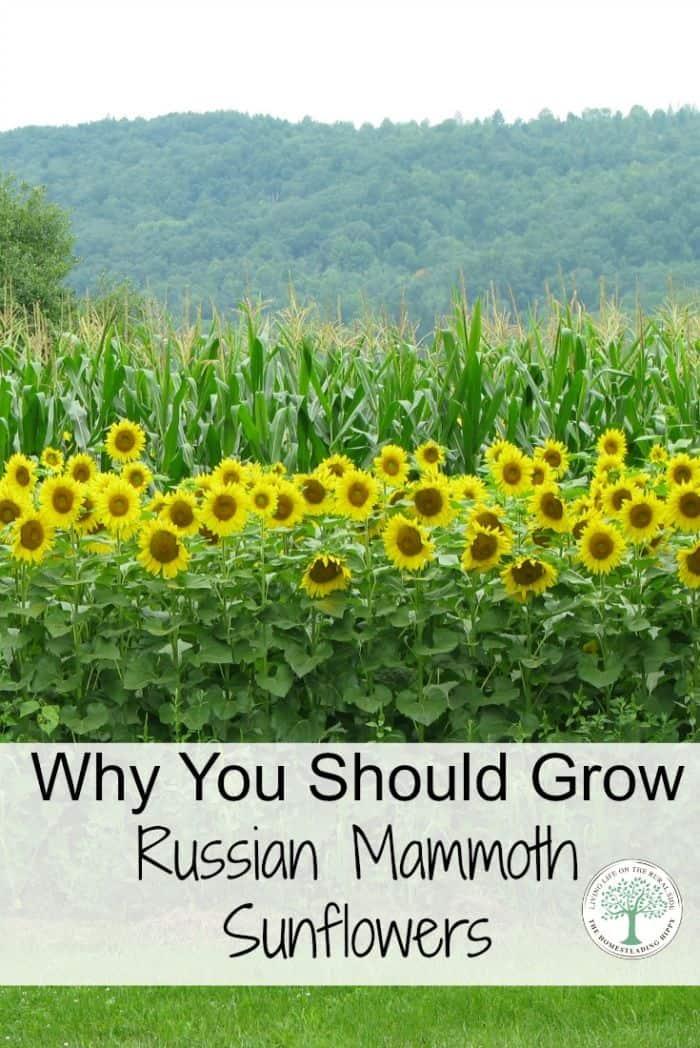 russian mammoth sunflowers pinterest