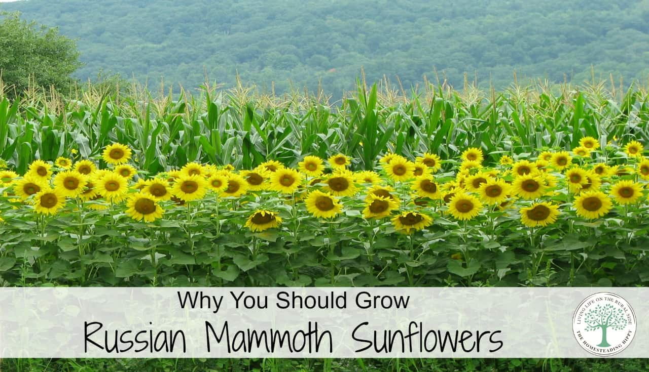 They are also very useful for food for you and your flock! See why you should grow Russian Mammoth Sunflowers!