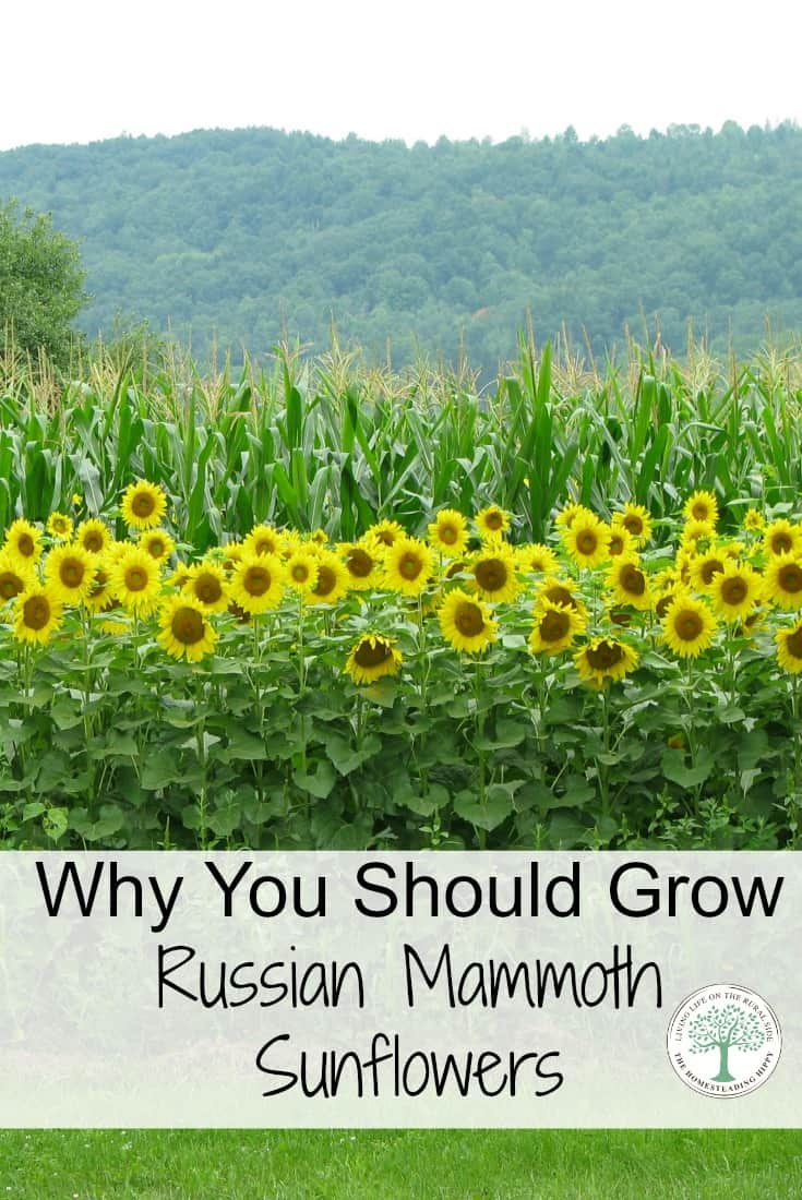 Sunflowers can add such beauty to a garden. They are also very useful for food for you and your flock! See why you should try Russian Mammoth Sunflowers! The Homesteading Hippy