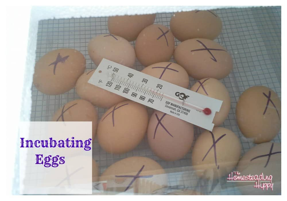 incubating eggs @the homesteadinghippy