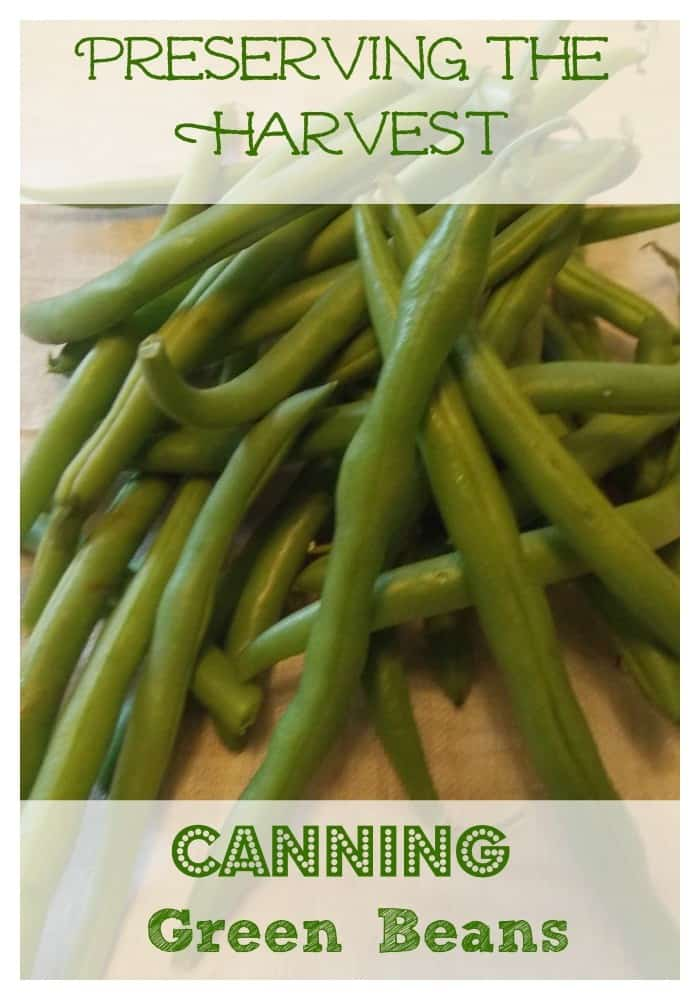 It's time for green beans to be ready!  If you are like me, you are short on freezer space, so to preserve the harvest, we pressure can them.  Learn how here~The Homesteading Hippy #homesteadhippy #fromthefarm #prepared #preseringtheharvest #canning