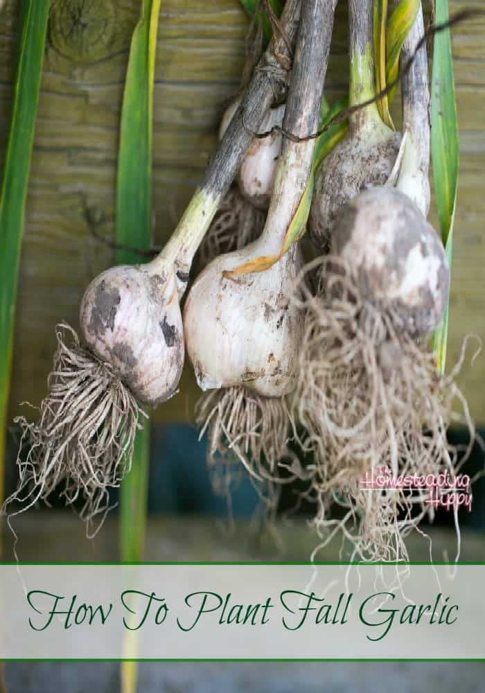 It's fall and time to plant your garlic! Here's some simple tips on how to get the best start! The Homesteading Hippy #homesteadhippy #fromthefarm #gardening #fallgarden #garlic