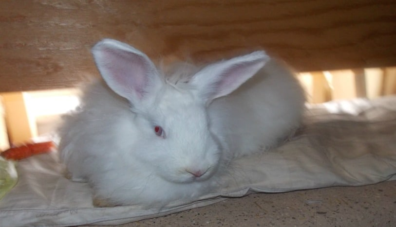 Raising pet rabbits in winter, even the coldest of winters doesn't have to be difficult. Here's what you need to know. The Homesteading Hippy