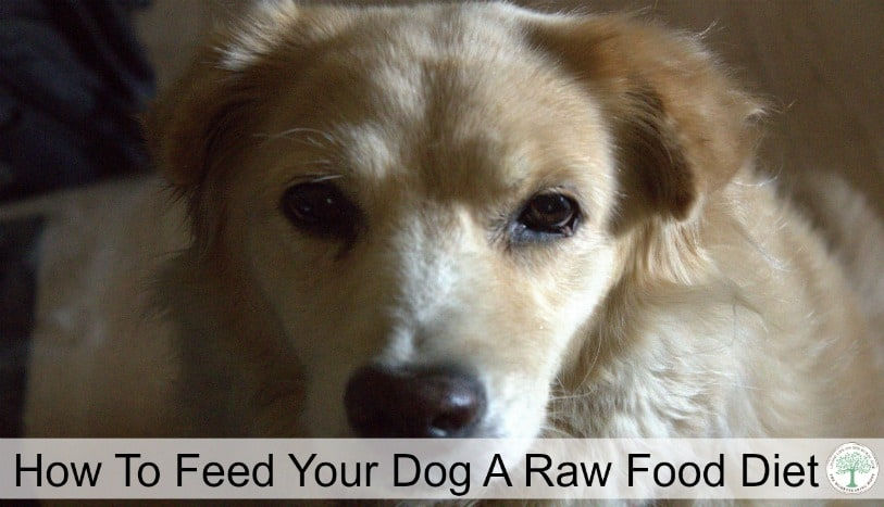 The benefits of feeding a raw food diet for dogs, and how to get started feeding your best friend a raw food diet! The Homesteading Hippy