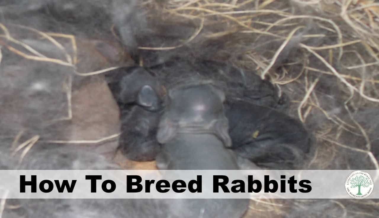 how to breed your rabbits