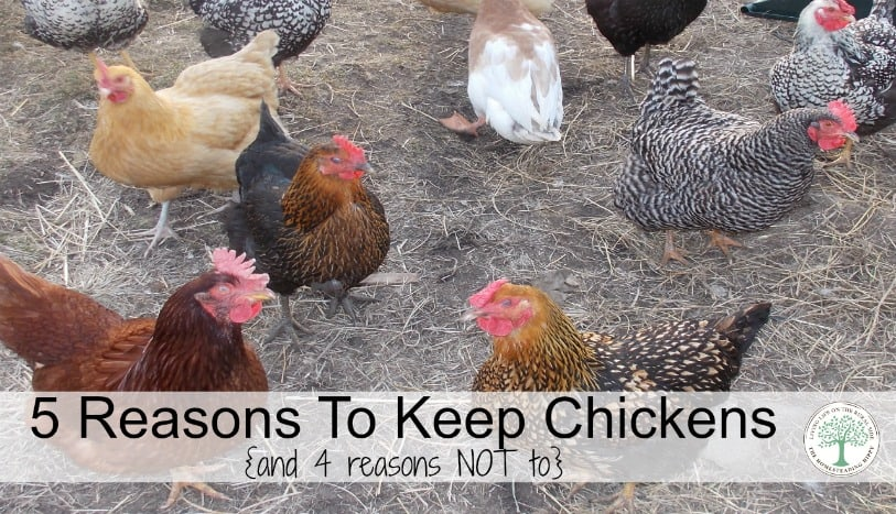 "We love our girls, we really do! If you are considering adding some chickens to your backyard homestead, here are my top 5 reasons to do so. Of course, with 5 reasons to keep chickens, we have to add ""and 4 reasons NOT to""."