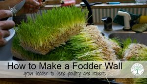 How to Grow Fodder to Feed Chickens, Ducks and Rabbits