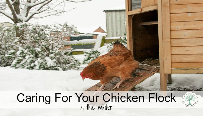 Caring for your chickens in the winter just needs a bit of forethought~The HomesteadingHippy