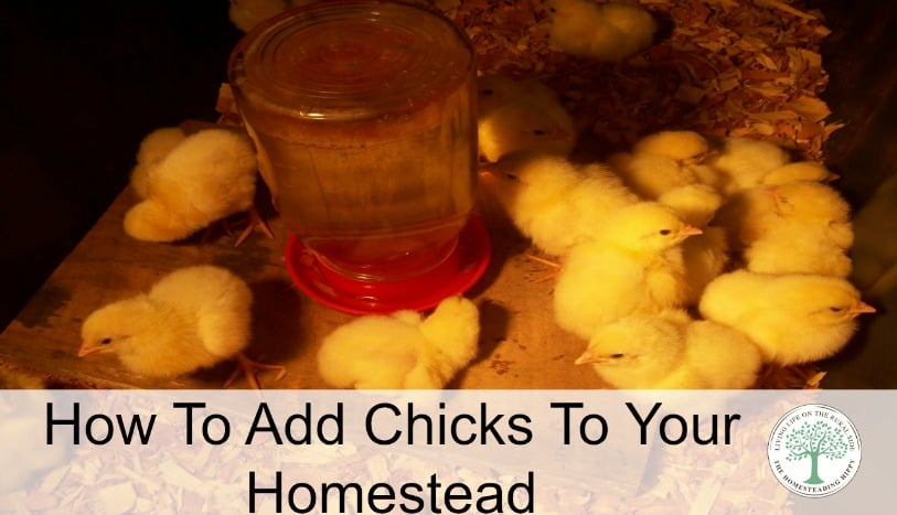 Either way you choose to add to your flock, there are a few things you need to do to get ready for chicks on your homestead. The Homesteading Hippy