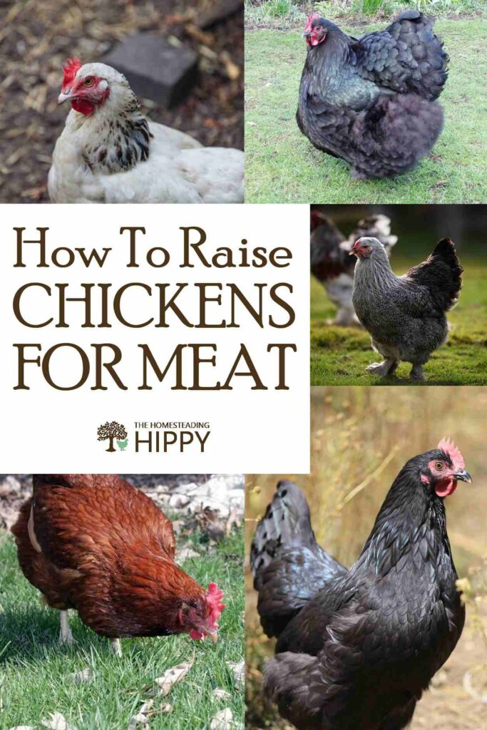 raising meat chickens pin
