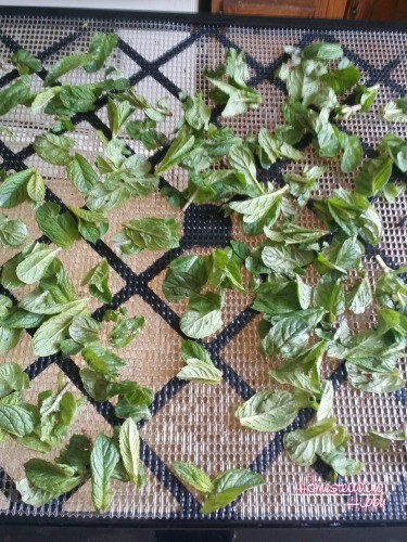 Mint has so many uses from sugar to extract to teas! Learn to grow, harvest and save mint for yourself! The HomesteadingHippy #homesteadhippy #fromthefarm #gardening #diy #mint
