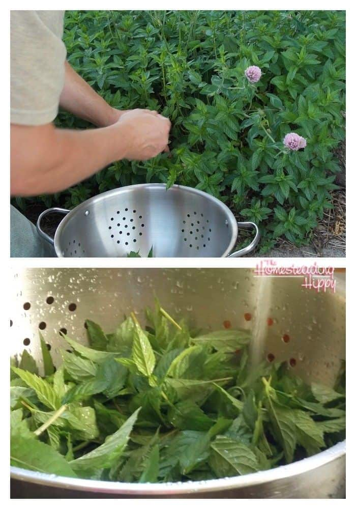 how to make mint sugar